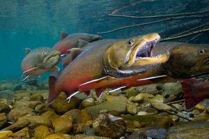 Bull trout were listed as threatened on the Endangered Species List in 1999.