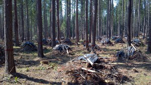 Forest thinning, such as this work done in the Umpqua National Forest in Oregon, may be of value for some purposes but will also increase carbon emissions to atmosphere, researchers say.