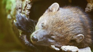 Fishers were once plentiful across the western United States until fur trappers wiped out their population.