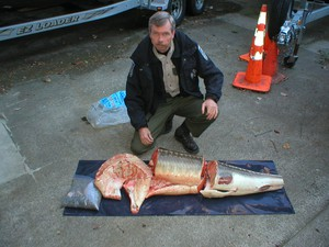 Many oversize fish seized in Operation Broodstock were cut into pieces. The ziplock bag contains sturgeon roe.