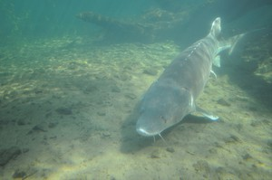 Sturgeon are the largest freshwater fish in North America.