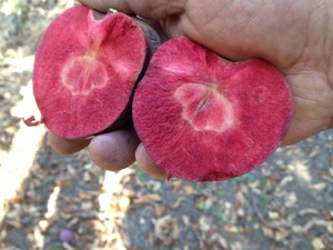 The Niedzwetzkyana apple, from Russia, has red skin and red flesh inside.
