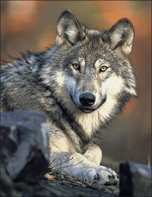 A gray wolf. A salmon researcher had to escape two wolves by climbing a tree.
