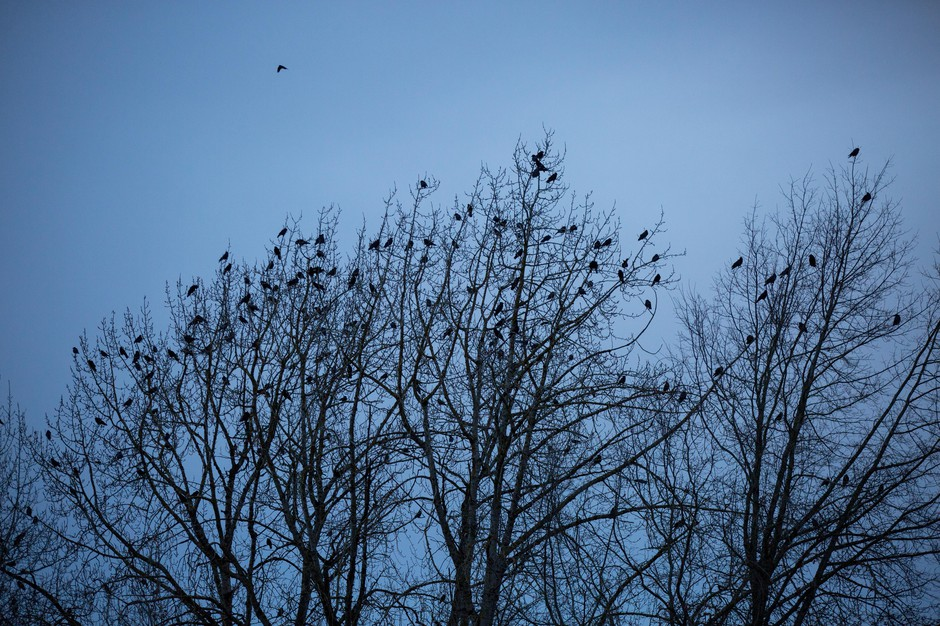 Crows gather in the treetops at Willamette Park in Southwest Portland, Oregon, Thursday, Jan. 3, 2019.