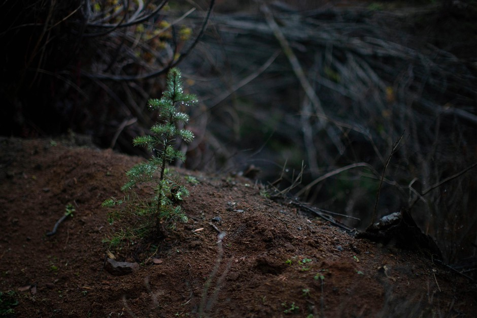 A tree sapling grows in an industrial forest in Oregon's Coast Range.