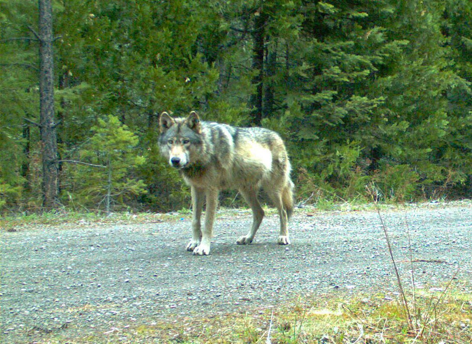 In this remote camera photo taken May 3, 2014, and provided by the Oregon Department of Fish and Wildlife, the wolf OR-7 stands on the Rogue River-Siskiyou National Forest in southwest Oregon's Cascade Mountains.