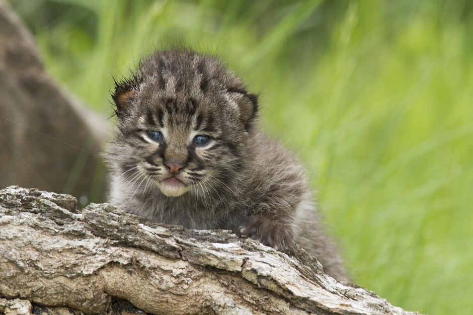 A Bobcat kitten looking over the top of a log, Minnesota Wildlife Connection, Minnesota, United States.
