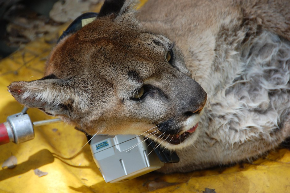 A tranquilized cougar is fit with a radio collar in California.