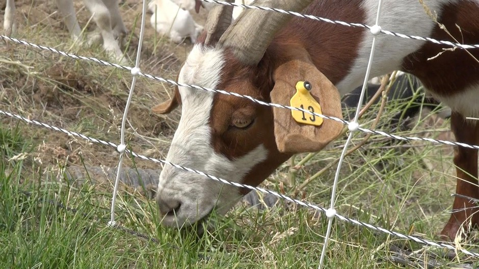 The goats can eat up to 17 hours a day, herder Billy Porter said.