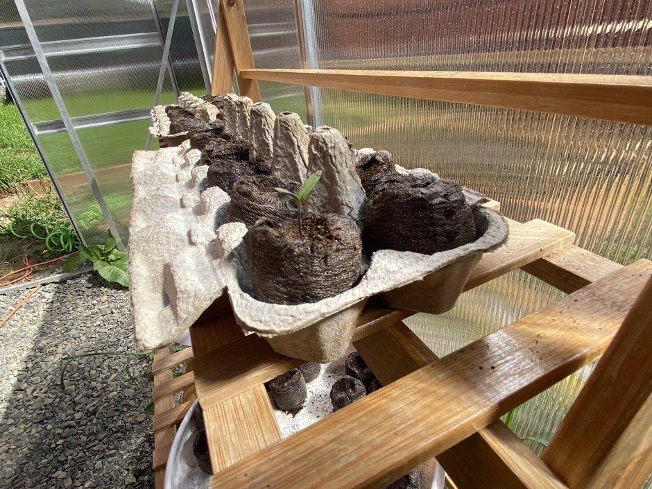 An old egg crate doubles as a container to sprout seeds in a home greenhouse.