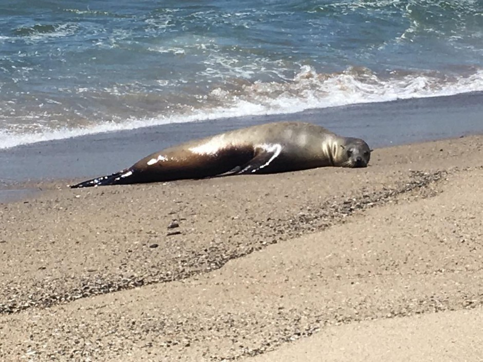 A California sea lion,named Charlie Winston, stranded on a beach in California. Severe cancer had spread throughout her body and made her too sick to swim.