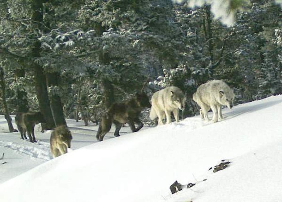 A pack of wolves makes their way through the snow in Northeastern Oregon.
