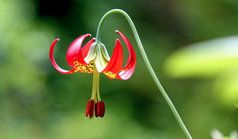 An endangered Western lily in full bloom.