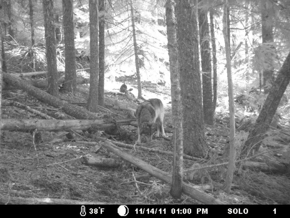 The only known photograph of the wandering wolf, OR-7, was taken by a trail camera in southern Oregon late last year. Eventually, this member of a Northeast Oregon pack crossed the state line into California