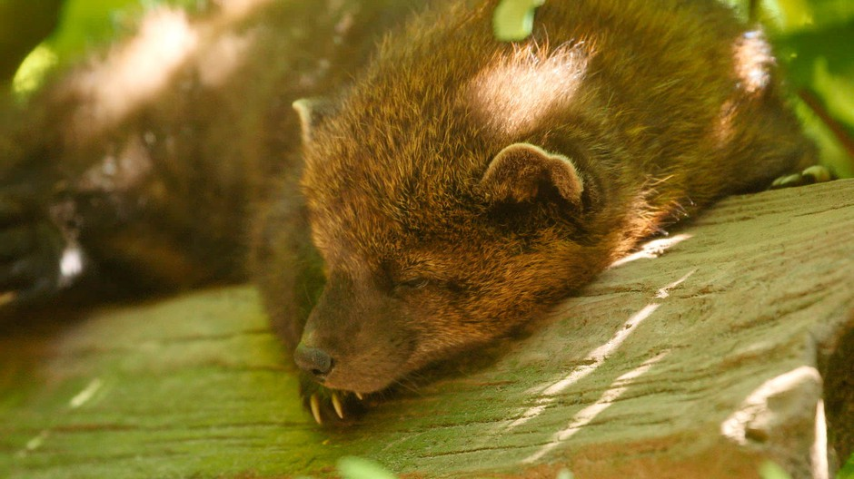 Fishers are predatory mammals, related to weasels, mink, martens and otters.
