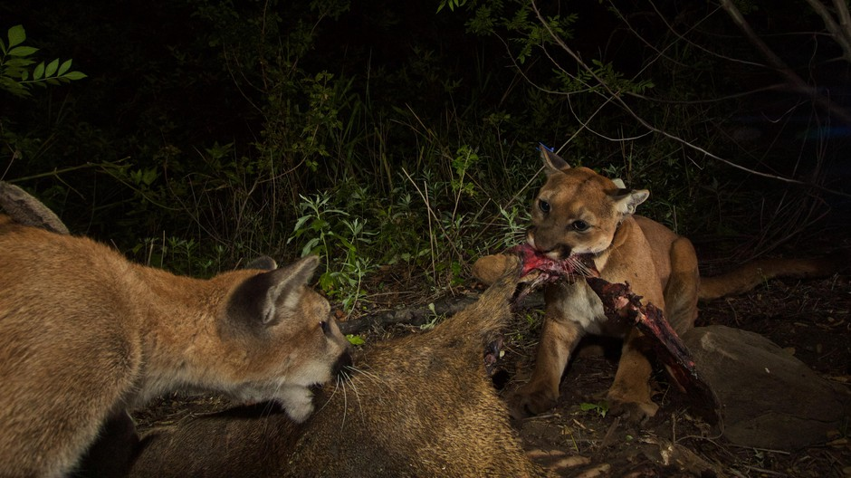 A radiocollared cougar shares a kill with another cat, thought to be her cub. Cougars have been found to share kills with related and non-related cats, though they rarely eat at the same time.