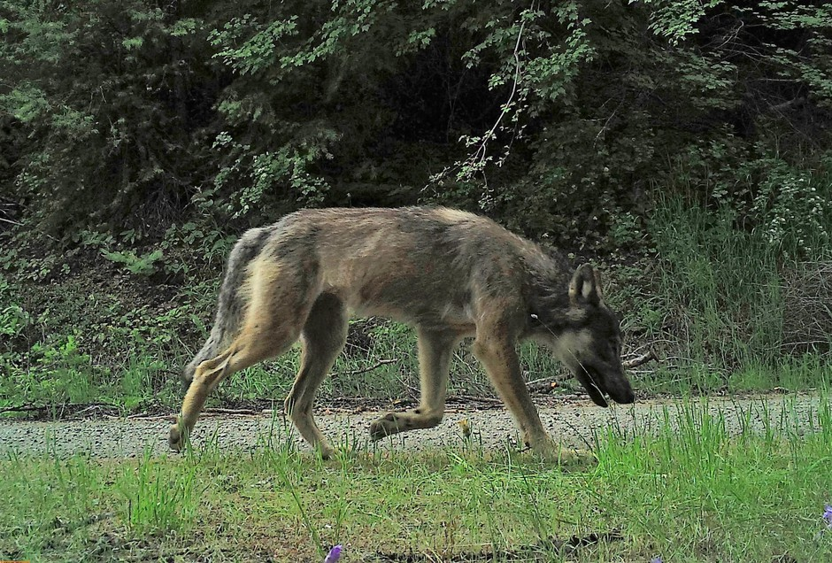 A male wolf from the Sherman Pack captured by camera trap.