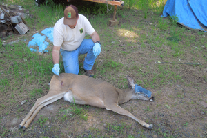 A wildlife officer treats a doe that was shot with an arrow in the Shady Cove area of southwest Oregon. The removed arrow can be seen to the right of the tranquilized animal.